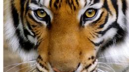 10 Unusual Tiger FactsFacts about Tigers 709