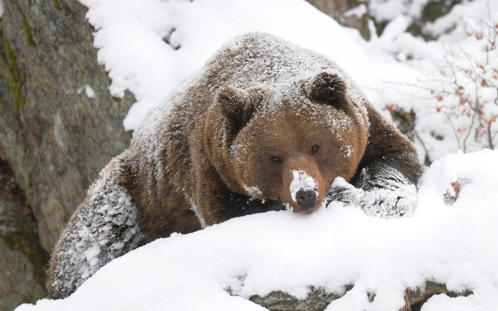 Wallpaper of Grizzly bear in the snow | HD Animals Wallpapers 702