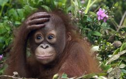HD animals wallpaper of a cute orangutan baby | HD monkeys wallpapers 798