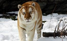 Strange Snow Tiger Wallpapers | HD Wallpapers 899