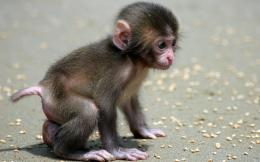 Monkey HD Wallpapers | Monkey Pictures Free | 1860