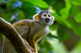 Spider Monkey Wallpaper | Spider Monkey Pictures | Cool Wallpapers 438