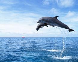 Dolphin Wallpapers HD Pictures | One HD Wallpaper Pictures Backgrounds 1186