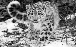 Snow Leopard HD Wallpaper | Snow Leopard Photos | Cool Wallpapers 1668