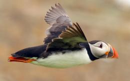 bird atlantic puffin seabird flight wallpaper 1680x1050Magic4Walls 1654
