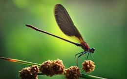Dragonfly wallpaper1093968 1064