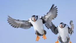 Atlantic puffinFratercula arctica© Werner Bollmann Age Fotostock 288
