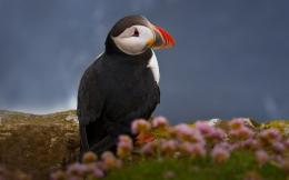 Related For Puffin Bird Pictures 591