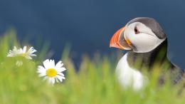 Related Pictures atlantic puffin what is an atlantic puffin 1304