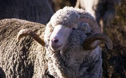 Merino Sheep HD wallpapers 705