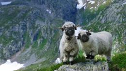 Valais blacknose sheep in Valais, Switzerland© NaturePL SuperStock 564