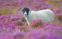 download sheep in lilac flower field wallpaper in animals wallpapers 247