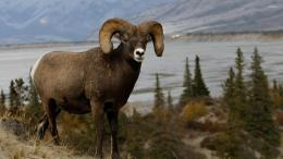 Bighorn Sheep HD wallpapers 734