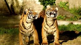 Siberian Tiger Couple Hd Wallpaper | Wallpaper List 1777