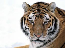jlm siberian tiger jpg wallpaper animals misc jlm siberian tiger 1866