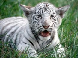 dowload white tiger background images wallpaper white tiger cub pics 1632