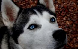 Siberian Husky wallpaper991108 1298