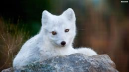 youwall cute foxes wallpaper wallpaperwallpapersfree 337