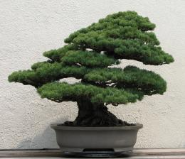 Download free Japanese White Pine Bonsai desktop wallpaper hd for 607