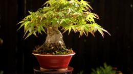 Bonsai Baum Wallpaper Lilz Tattoo Pictures 573