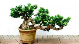 Bonsai Wallpaper 17 – HD Wallpaper, Wallpaper PicsThe Best 299