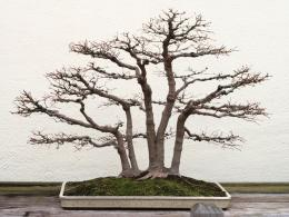 Bonsai Wallpapers Redwood Bonsai 5 1074