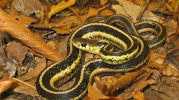 garter snake wallpaper in animals wallpapers with all resolutions 314