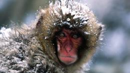 Pretty Shot Of Snow Monkey Hd Wallpaper | Wallpaper List 438