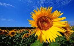 Desktop Wallpaper : Sunflower Fields Wallpaper Desktop Hq Wallpapers 787