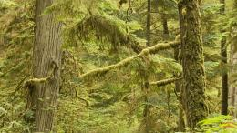 Old Growth Rainforest, Pacific Rim National Park, Vancouver Island 221