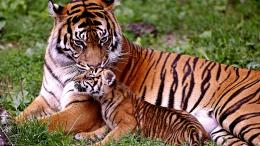 Precious Moment Of Tiger Family Hd Wallpaper | Wallpaper List 626