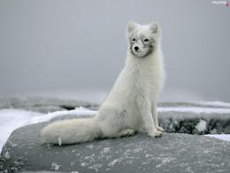 Fur, BBW, Fox, polarFull HD Wallpapers: 1600x1200 941