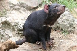 File:TasmanianDevil 1888 jpgWikipedia, the free encyclopedia 295