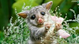 opossum, smallAnimals wallpapers: 1600x900 550