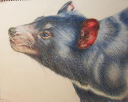 Tasmanian devil, colour pencil on paper by Waxmann on DeviantArt 1834