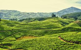 Tea plantations in Kerala, India wallpaperNature wallpapers 147