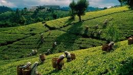 Pin Tea Plantation Hd Wallpaper Placecom on Pinterest 1561