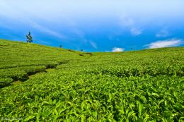 Tea Plantations In Kerala Wallpaper 1366x768 High Resolution Desktop 332