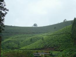 Download Description Tea plantation in Kerala, India JPG 1020