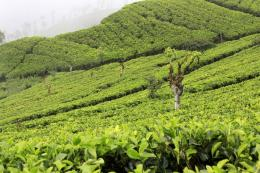Tea Plantations In Kerala Wallpaper 1366x768 High Resolution Desktop 574