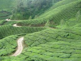 Tea plantation in Munnar, Kerala, in southern India 616