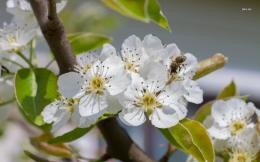 wallpaper 1366x768 Pear blossoms in a bunch wallpaper 1440x900 Pear 1074