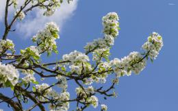 Pear branches full of flowers wallpaperFlower wallpapers#51317 602