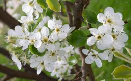 Blossoming pear tree wallpaperFlower wallpapers#2270 416