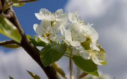 Pear blossoms in the sunshine wallpaperFlower wallpapers#51190 1093