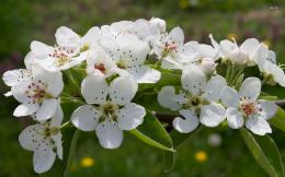Blossoming pear tree branch wallpaper 2560x1600 Blossoming pear tree 1434