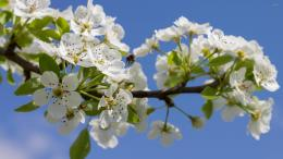 Spring blossoms on a pear tree wallpaperFlower wallpapers#3422 1646