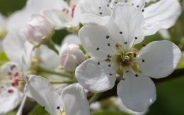 Pear blossoms wallpaperFlower wallpapers#30452 195