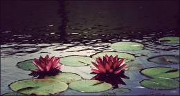 tags flowers plants pond water 1331