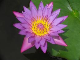 wallpapers: Water lily flowers wallpapers 1410